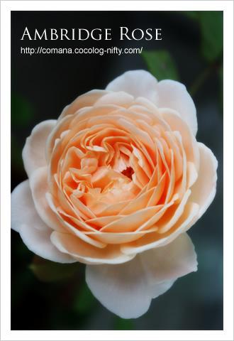 090522_rose