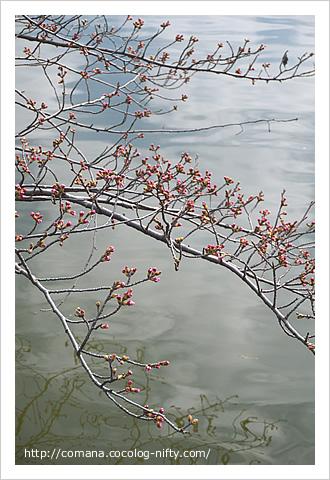 井の頭公園の桜のつぼみ