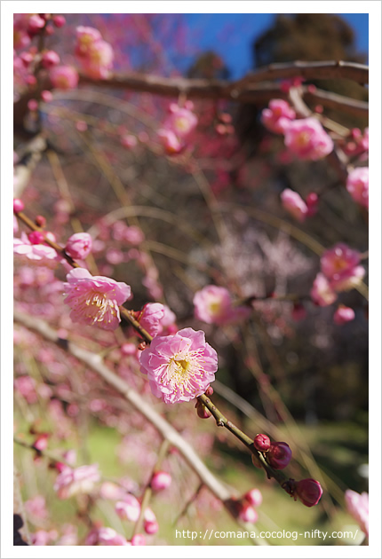 井の頭公園の梅