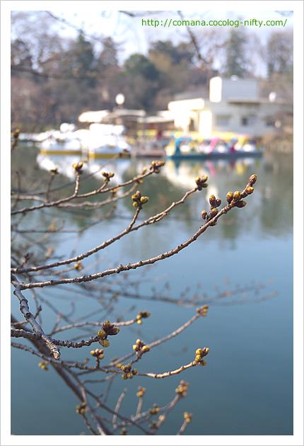 井の頭公園の桜はまだまだつぼみ