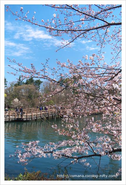桜、咲き進んできました