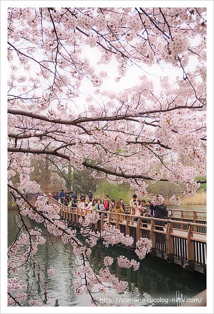 桜と七井橋と観光客
