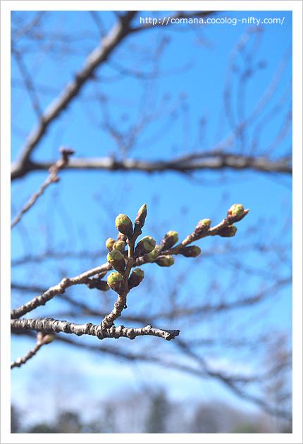 桜のつぼみ、プックリ