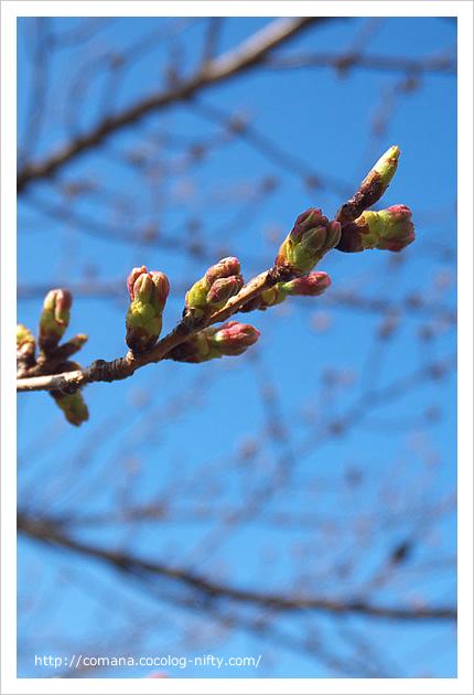 咲きそうな桜のつぼみ