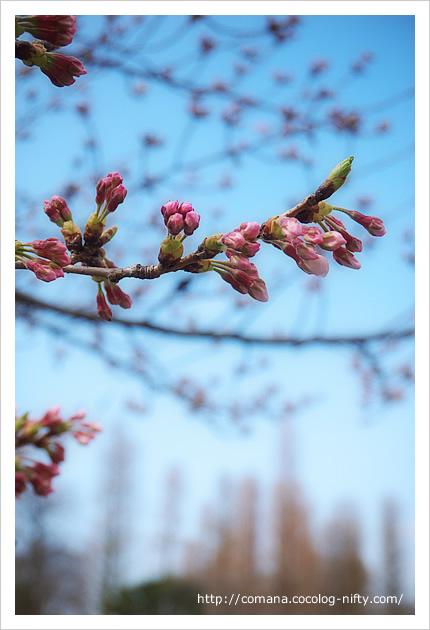 今日の井の頭公園と桜の状況(3/27)