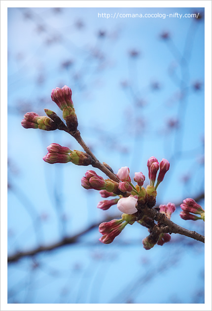 桜のつぼみ