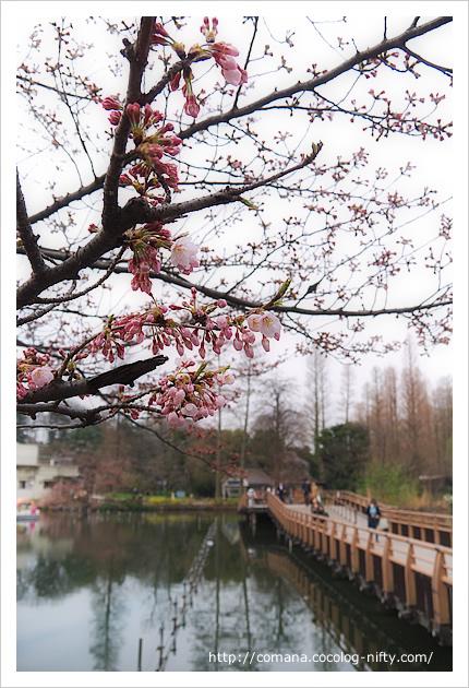 今朝の井の頭公園と桜の状況(3/30)