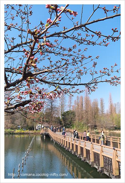 29日の桜の状況
