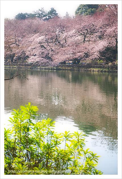 池の南側は開花が早かったです