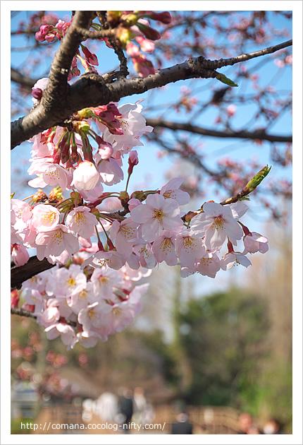 3月31日の桜