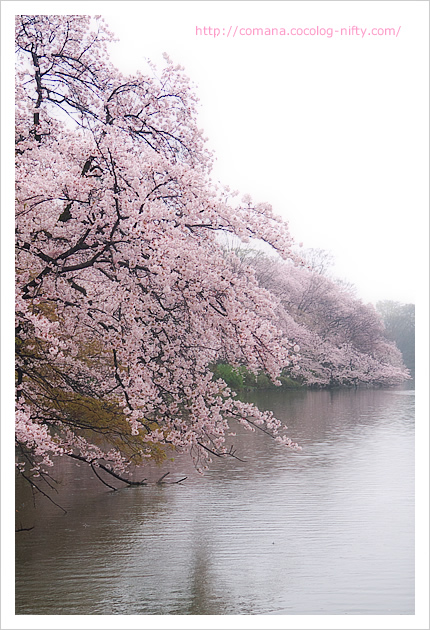 井の頭公園と桜(4/4)