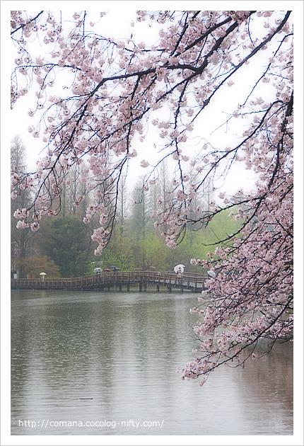 桜と七井橋と新緑