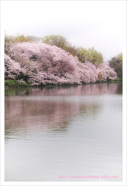 今朝の井の頭公園の桜(4/5)