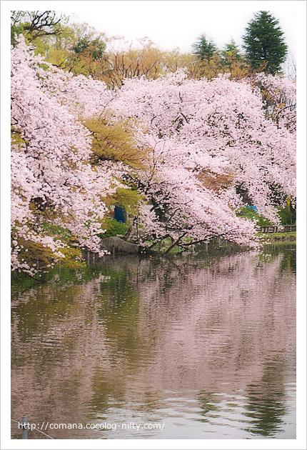 桜とけやき