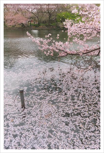 井の頭公園の桜もそろそろ見納め(4/8)