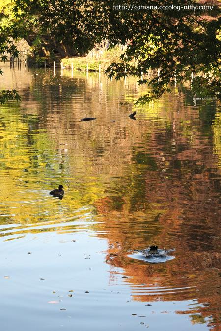 紅葉と水鳥