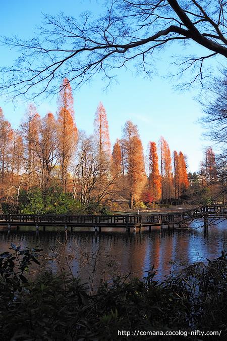 針葉樹の紅葉