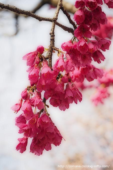 早咲きの桜?