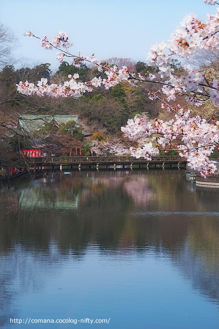 井の頭公園の桜、そろそろ見頃