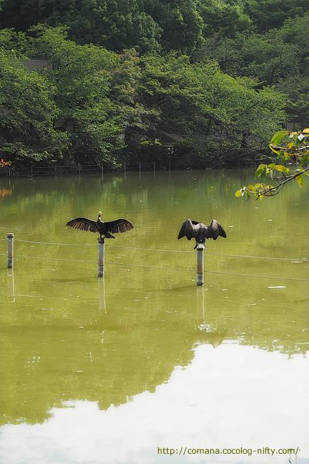 井の頭池の鵜