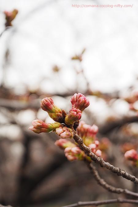 個人的標本木の桜・蕾がぷっくり