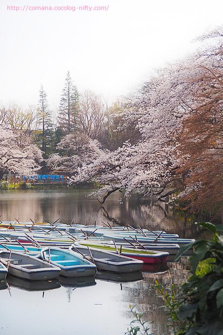 井の頭公園の桜、ただいま見頃(多分)