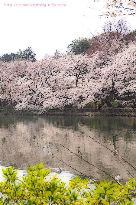 南岸の桜キレイ