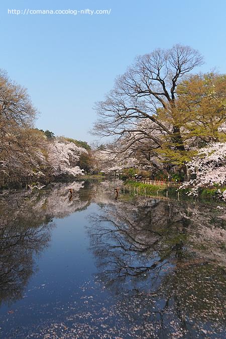 続・井の頭公園の桜、ただいま見頃(散りはじめ)
