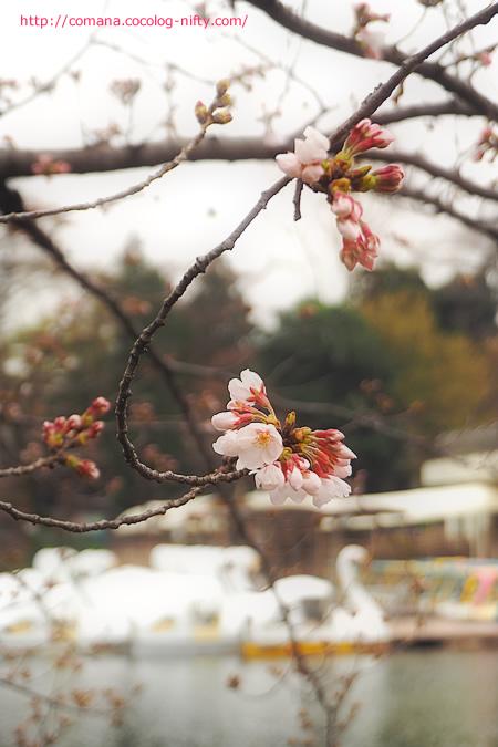 今朝の井の頭池の桜