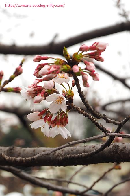 今朝の同じ桜
