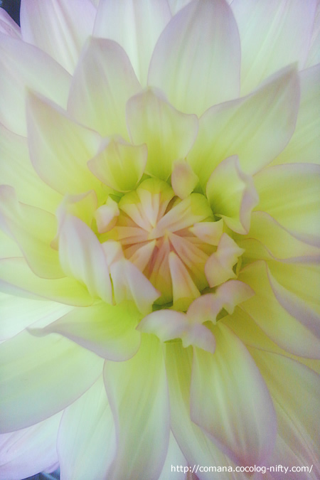 Ohana…ではなくお花。ダリアきれい