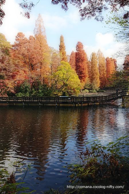 針葉樹の紅葉、今年はちょっと寂しい